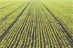 Corn Field, Illmitz, Burgenland, Austria