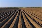 Asparagus Field, Wallern im Burgenland, Burgenland, Austria