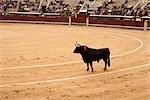 Bull, La Plaza de Toros de Las Ventas, Madrid, Spanien