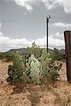 Cactus par clôture, Texas, USA