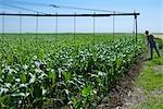Agriculteur vérification automoteurs Centre Pivot gicleurs dans le champ de maïs, Colorado, USA