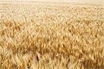Champ matures dur rouge blé d'hiver, Colorado, USA