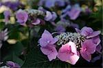 Plante hortensia