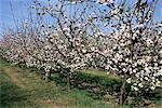 Apple trees in bloom, Normandie (Normandy), France, Europe