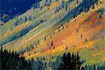 Aspen pines, San Jaun Skyway, near Silverton, Colorado, United States of America