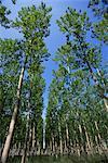 Poplar grove, Espagne, Europe