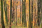 Buche Bäume im Herbst, Queen Elizabeth Country Park, Hampshire, England, Vereinigtes Königreich, Europa