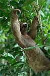 Trois doigts paresseux, Manuel Antonio Park, Costa Rica, l'Amérique centrale