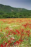 Fleurs sauvages, y compris les coquelicots dans un champ près de Apt dans le Luberon montagnes, Vaucluse, Provence, France, Europe