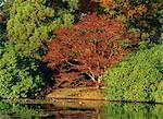 Scène tranquille d'arbres acer en couleurs d'automne (automne) à Sheffield Park, Sussex, Angleterre, Royaume-Uni, Europe
