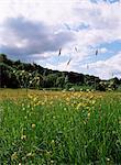 Buttercup field and Selbourne Hanger, Selbourne, Alton, Hampshire, England, United Kingdom, Europe