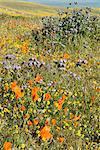 Antelope Valley Poppy Reserve, California, United States of America, North America