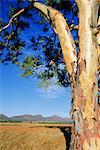 Red River Gum, Wilpena, Flinders Range, South Australia, Australia