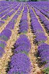 Champ de lavande en fleurs, Sault, Vaucluse, Provence, France, Europe