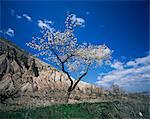 Almond tree in bloom, Zelve, Cappadocia, Anatolia, Turkey, Eurasia
