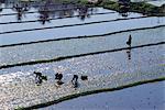 Rice fields,Bali,Indonesia
