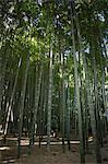 Bamboo forest,Kamakura City,Kanagawa prefecture,Japan,Asia
