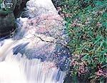 Un arbre qui fleurit à proximité d'une chute d'eau