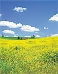 Collines de fleurs jaunes