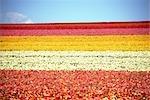 Rangées de fleurs colorées