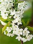 Fleurs blanches sur branche
