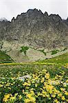 Fleurs de montagne paysage et de l'été en randonnée, montagnes de Hautes Tatras (Vyoske Tatry), Parc National des Tatras, Slovaquie, Europe