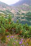 Campanula patula wild flower, montagnes de Vysoké Tatry, Vysoke Tatry, Slovaquie, Europe, pin de montagne et Velicke pleso (lac)