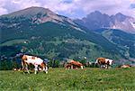 Vaches qui paissent à Monte Pana et Leodle Geisler Odles portant en arrière-plan, Val Gardena Dolomites Haut-Adige, Italie, Europe
