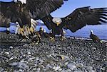 Bald eagles (Haliaetus leucocephalus) in February, Alaska, United States of America, North America