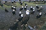 Aigle à tête blanche (Haliaetus leucocephalus) en février, Homer Spit, Alaska, États-Unis d'Amérique, l'Amérique du Nord