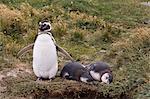 Magellanic penguin colony, Seno Otway, Patagonia, Chile, South America