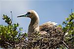 Red-footed booby, Bird Island, Tikehau, Tuamotu Archipelago, French Polynesia, Pacific Islands, Pacific