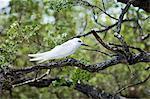 Sterne blanche, île aux oiseaux, Tikehau, archipel des Tuamotu, Polynésie française, îles du Pacifique, du Pacifique