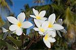 Frangipani flowers, Fakarawa, Tuamotu Archipelago, French Polynesia, Pacific Islands, Pacific