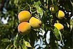 Peach Orchard, Kazimierz, Poland