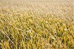 Gros plan du blé, Kazimierz Dolny, Province de Lublin, Pologne