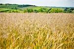 Champ de blé, Kazimierz Dolny, Province de Lublin, Pologne