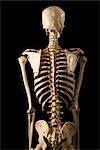 Posterior View of Skeleton