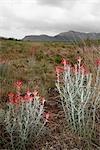 Gros plan du désert plantes, Del Rio, Val Verde County, Texas, USA