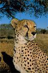 Cheetah (Acinonyx jubatus) in captivity, Namibia, Africa