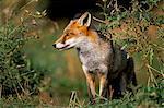 Captive red fox (Vulpes vulpes), United Kingdom, Europe