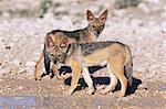 Young blackbacked jackals (Canis mesomelas), Etosha National Park, Namibia, Africa