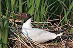 Tordeuse Goéland argenté, Larus ridibundus, nid, Leighton Moss R.S.P.B. réserve, Angleterre, Royaume-Uni, Europe