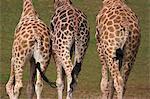 Rothschild-Giraffen (Giraffa Camelopardalis Rothschildi), Haut, Gefangener, aus dem Osten Afrika, Afrika