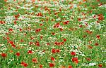 Poppy, Papaver rhoeas, Bielefeld, Germany, Europe