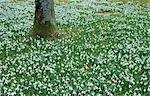 Snowdrops, Galanthus nivalis, Bielefeld, Germany, Europe