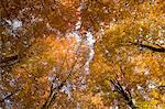 Beech tree forest in autumn, Senne, Nordrhein Westfalen, Germany, Europe