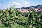 Vineyards at Karlshohe, on hillside near Stuttgart, Baden Wurrtemberg, Germany, Europe