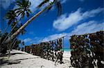 Seaweed drying in the sun, Uroa beach, Zanzibar, Tanzania, East Africa, Africa