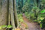 Chemin à travers la forêt tropicale, le Parc National de Dorrigo, patrimoine mondial de l'UNESCO, New South Wales, Australie, Pacifique